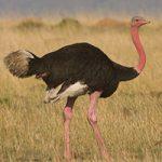 صدای شتر مرغ