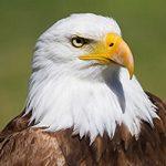 صدای عقاب