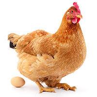 صدای مرغ