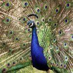 صدای طاووس